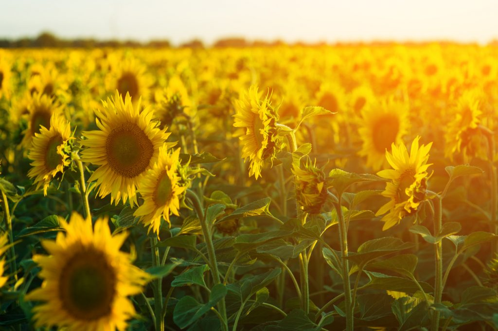 field of blooming sunflowers for a Sunflower festival